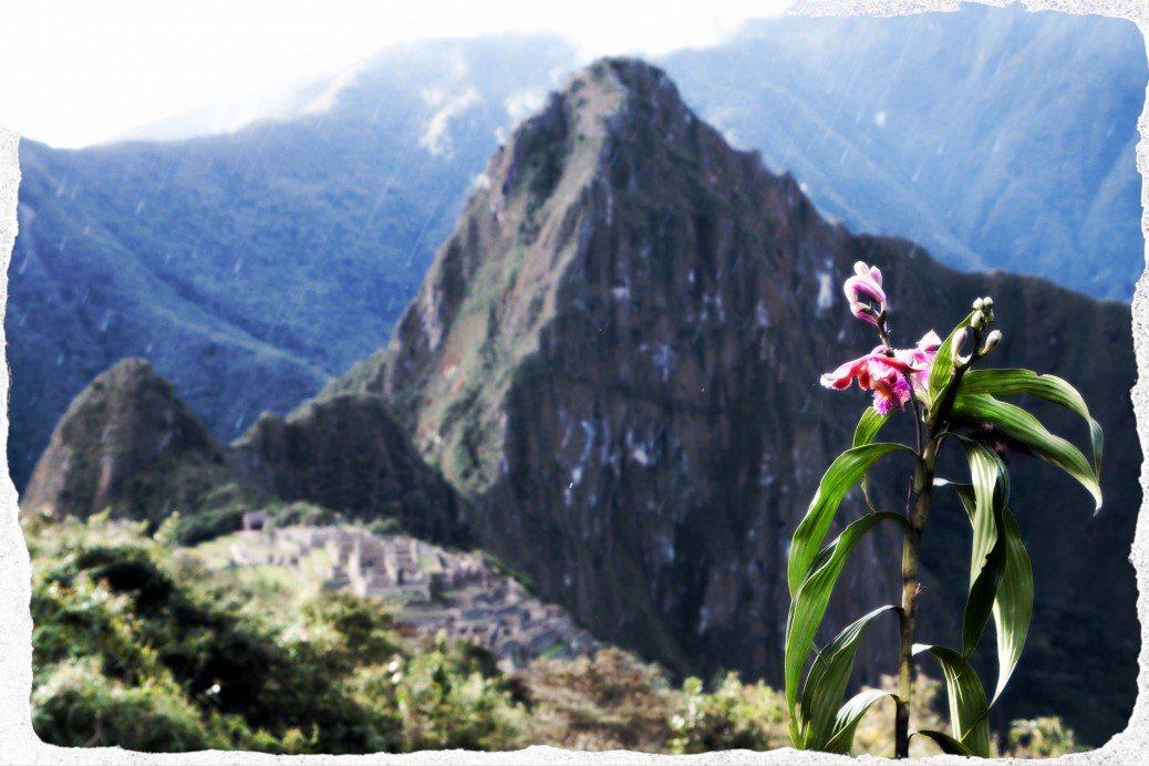 Machu Picchu Orchid