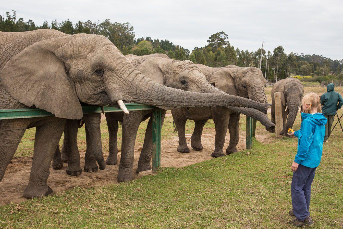 Feeding Elephants South Africa