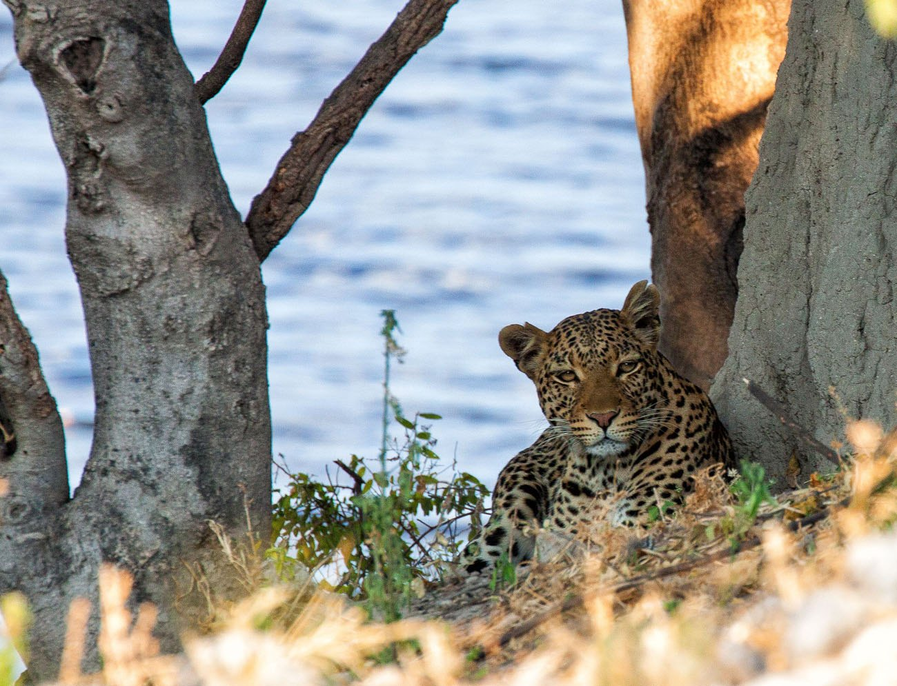 Leopard Chobe