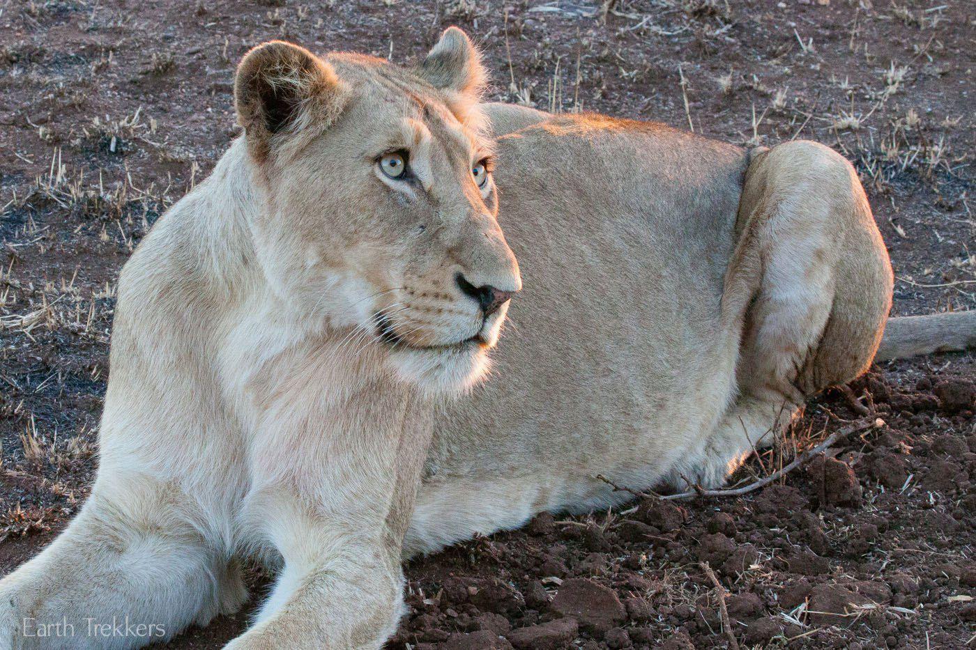 Lion at Kruger