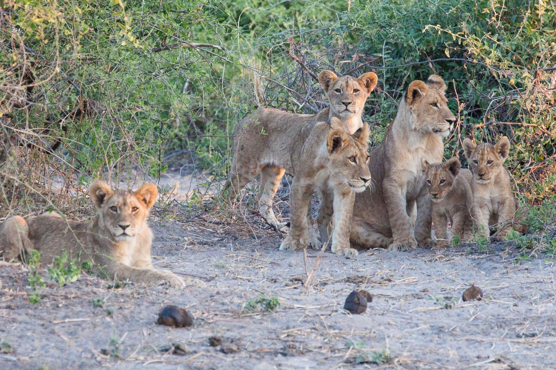 Lions Chobe