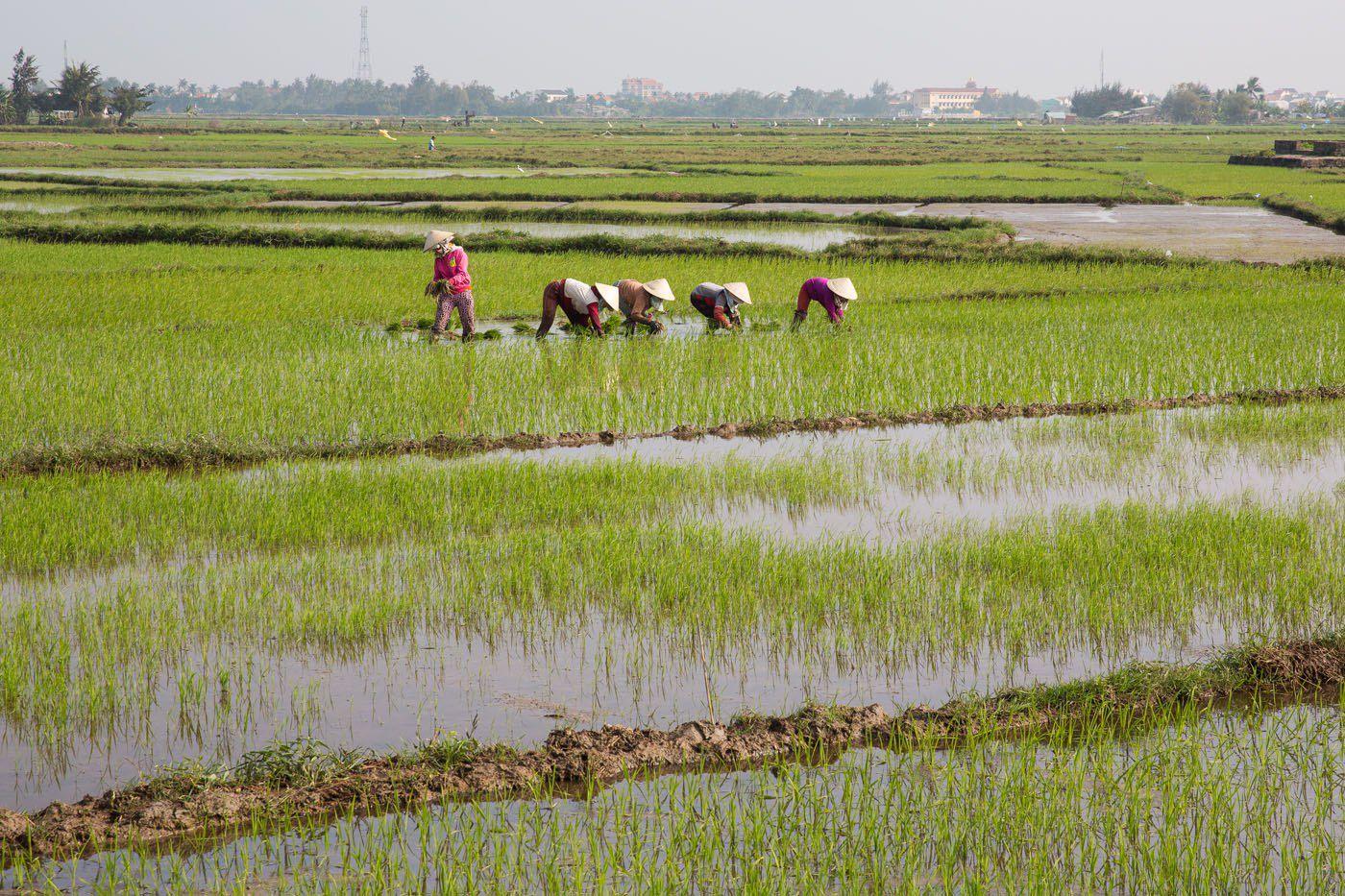 Rice Fields Hoi An Vietnam