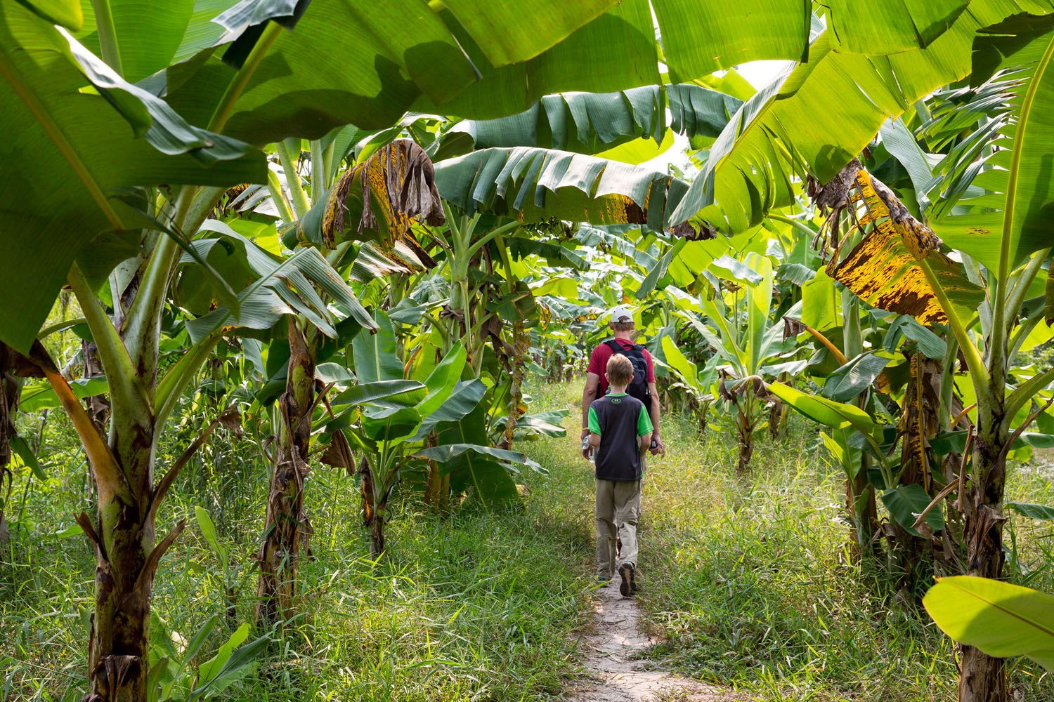 Walking Under Banana Trees