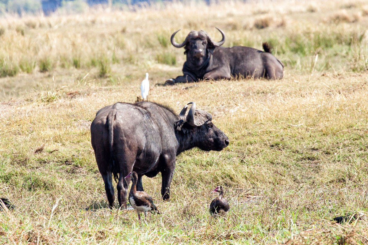 Water Buffalo Chobe