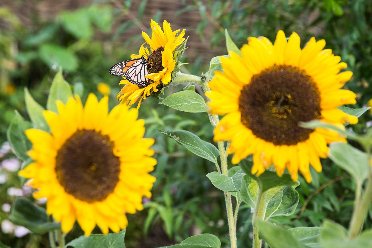 Sunflowers Hobbiton