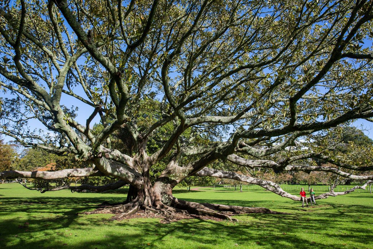 Big Tree in Auckland