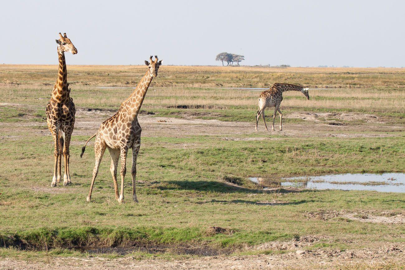 Chobe Safari Africa