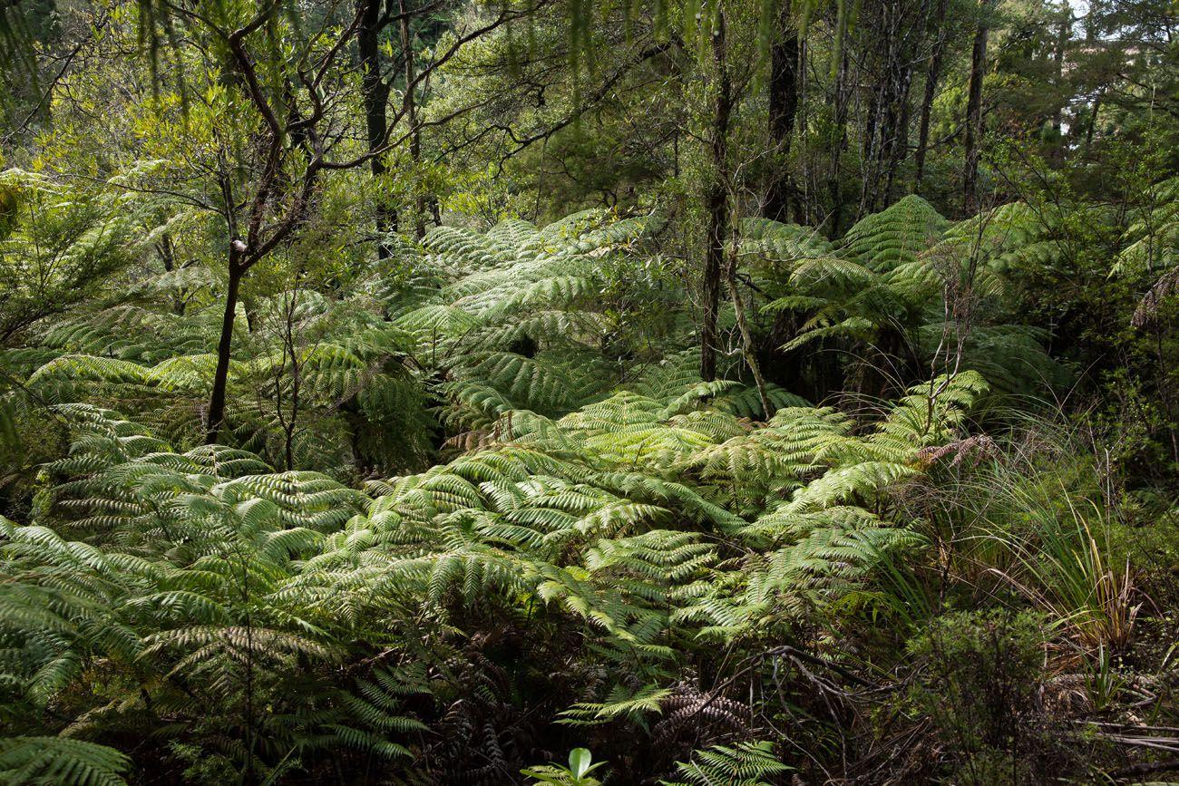 NZ Ferns