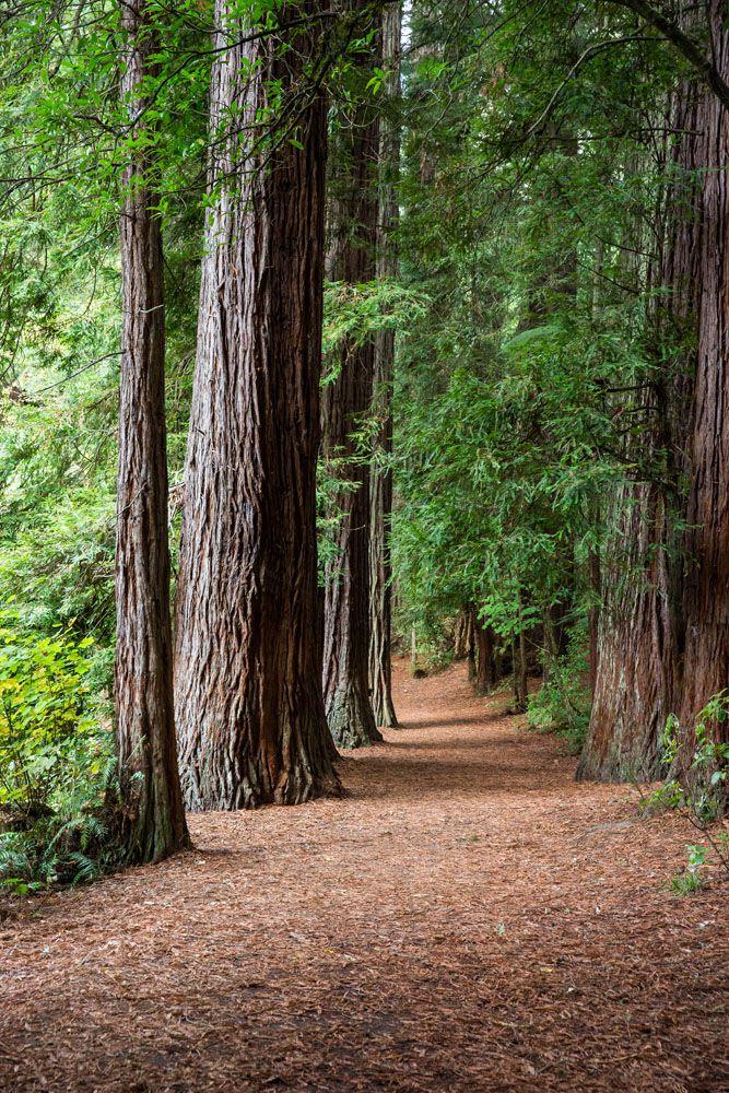 Redwoods in New Zealand