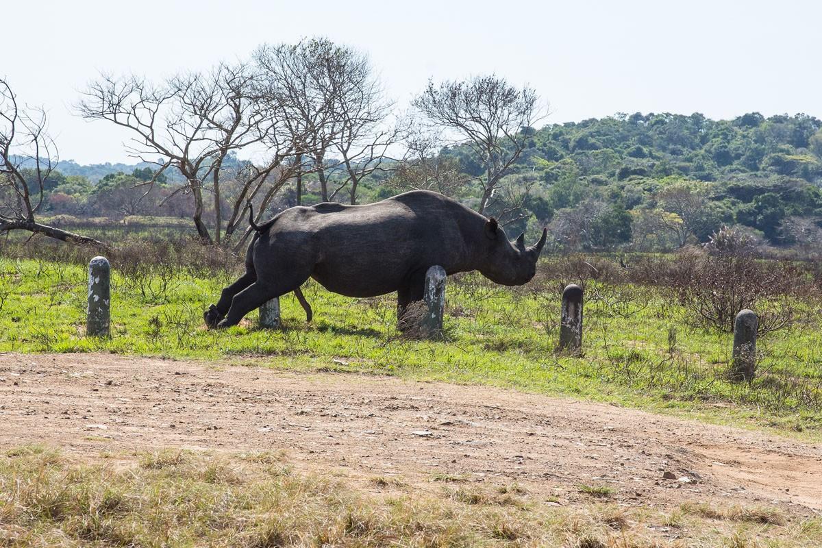Rhino masturbating