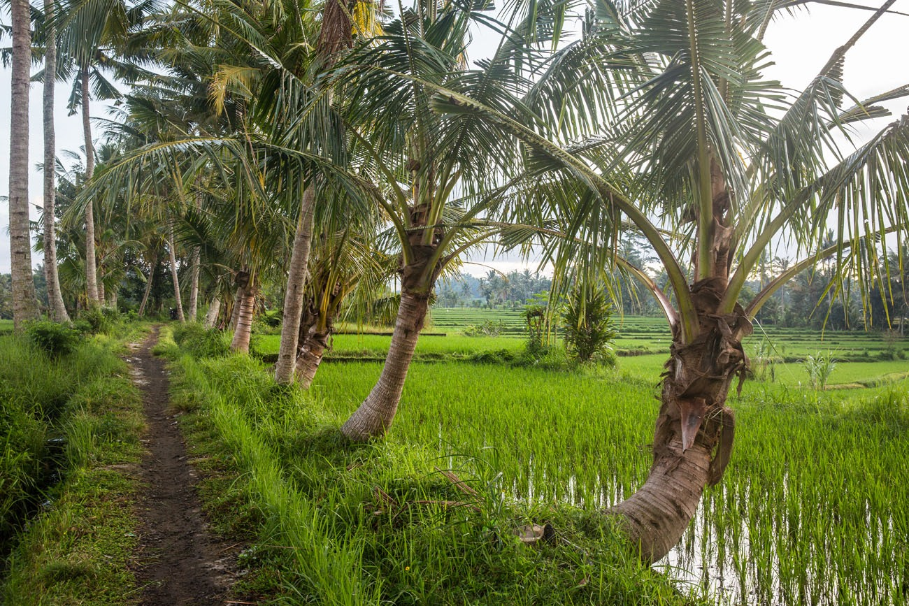 Walking the rice fields