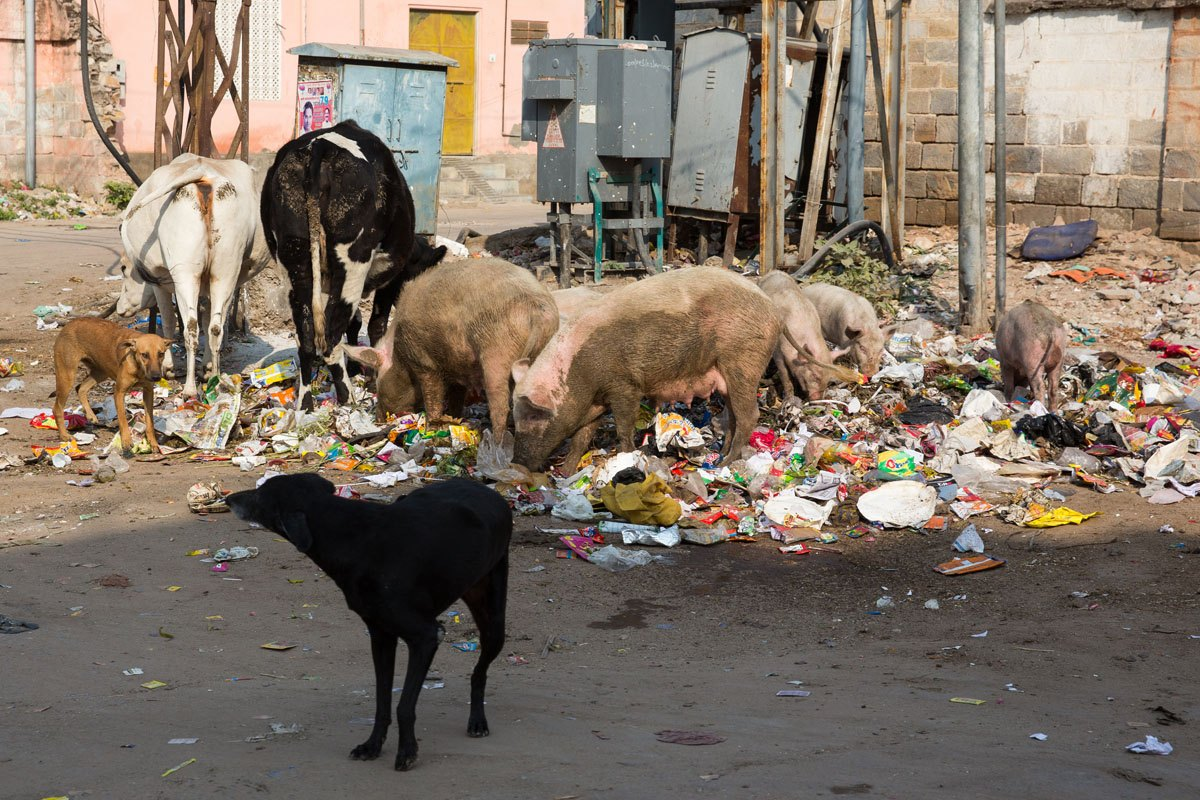 Pigs eating trash