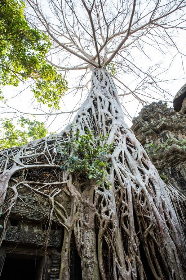 Giant Tree in Ta Prohm