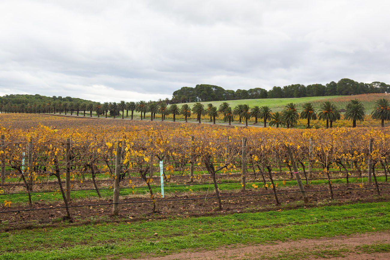 Australia Vineyard in Autumn
