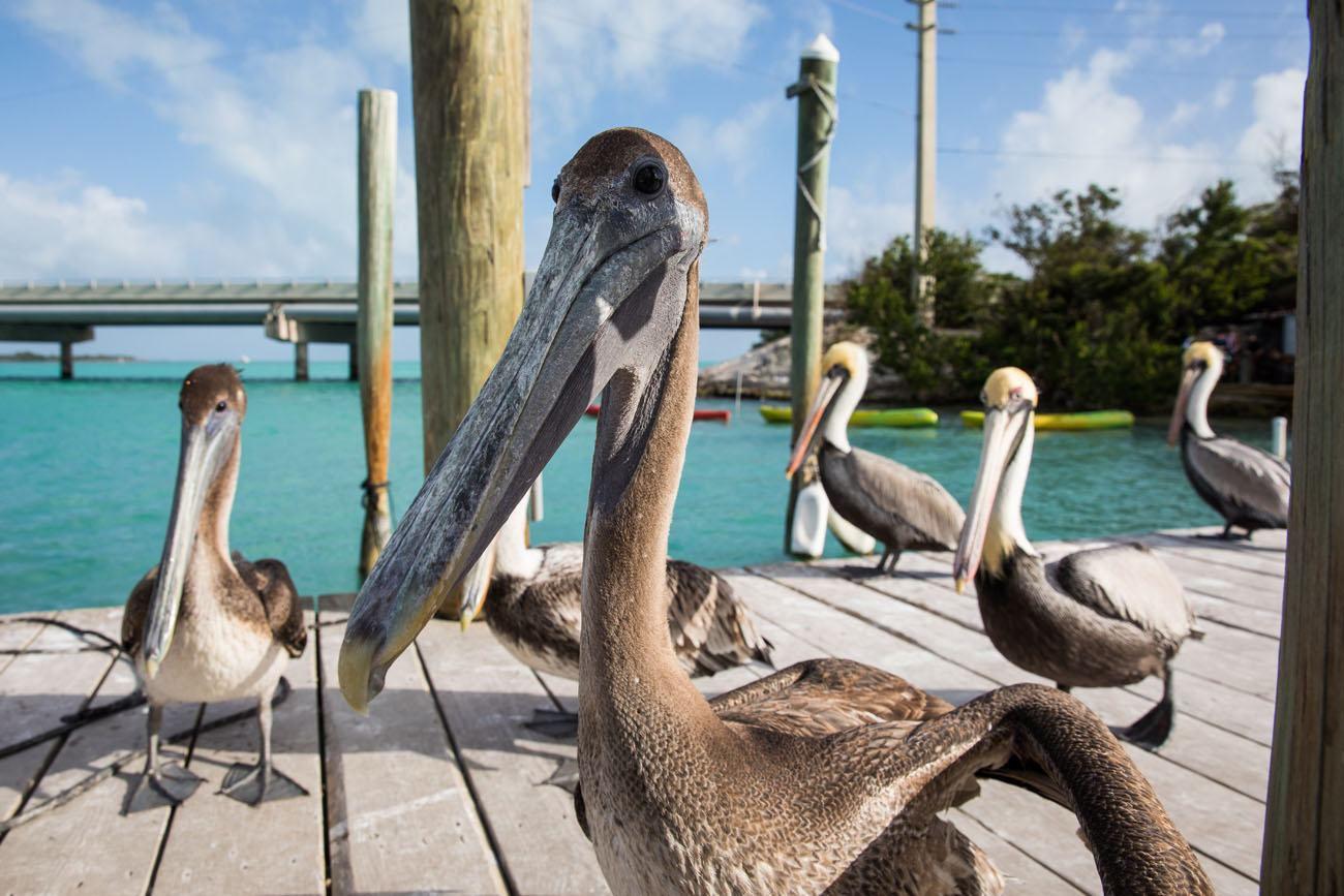 Pelicans Florida Keys