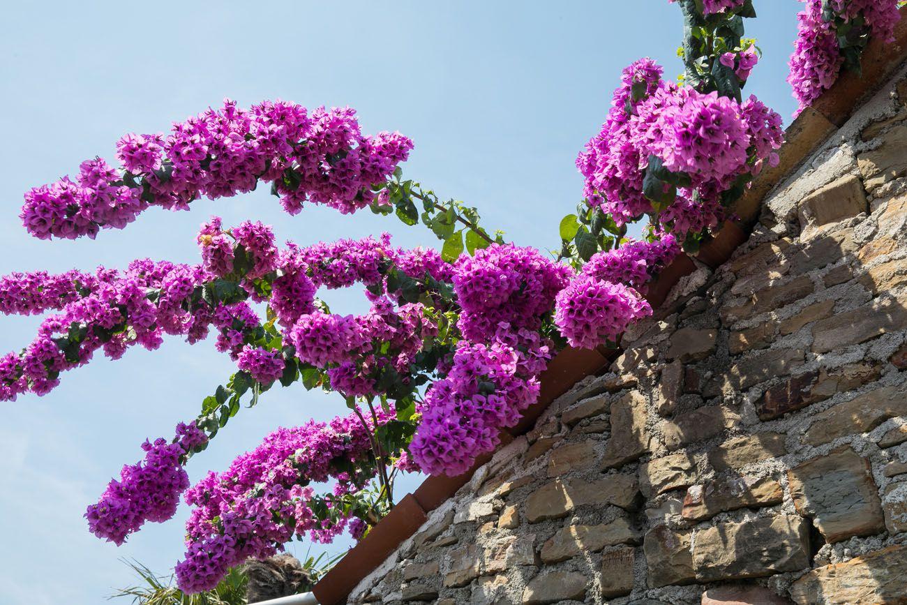 Flowers in Piran