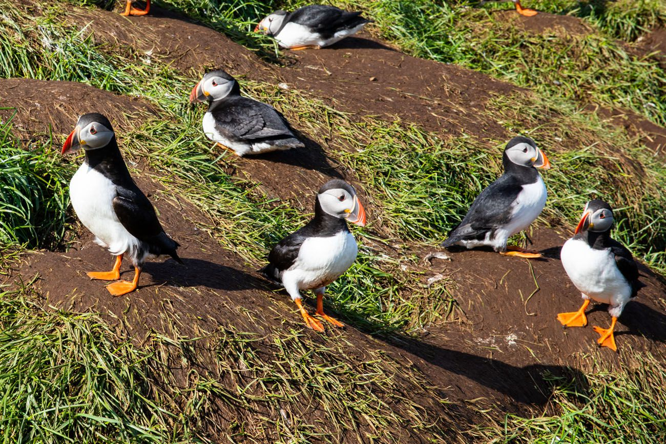 How to See Puffins in Iceland