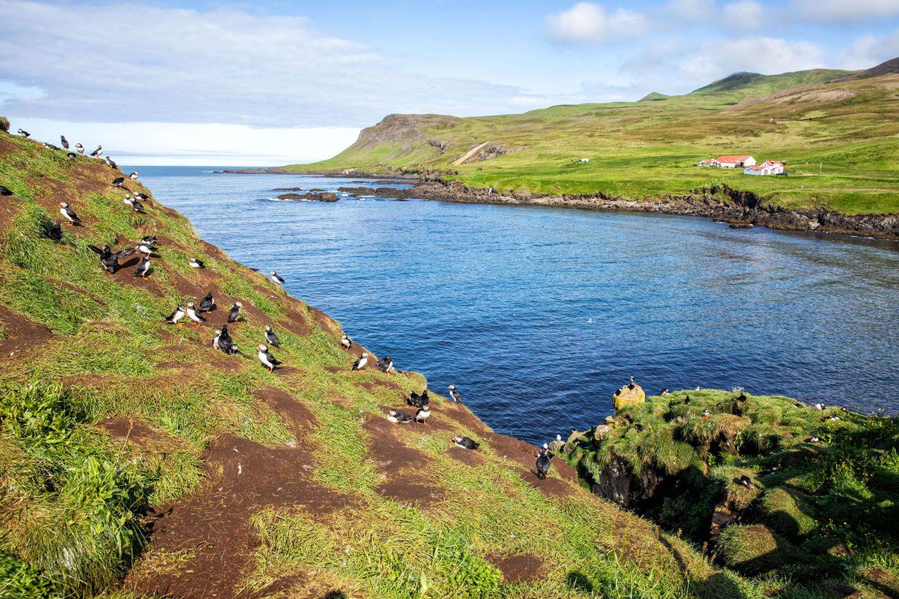 Puffins at Borgarfjörður Eystri