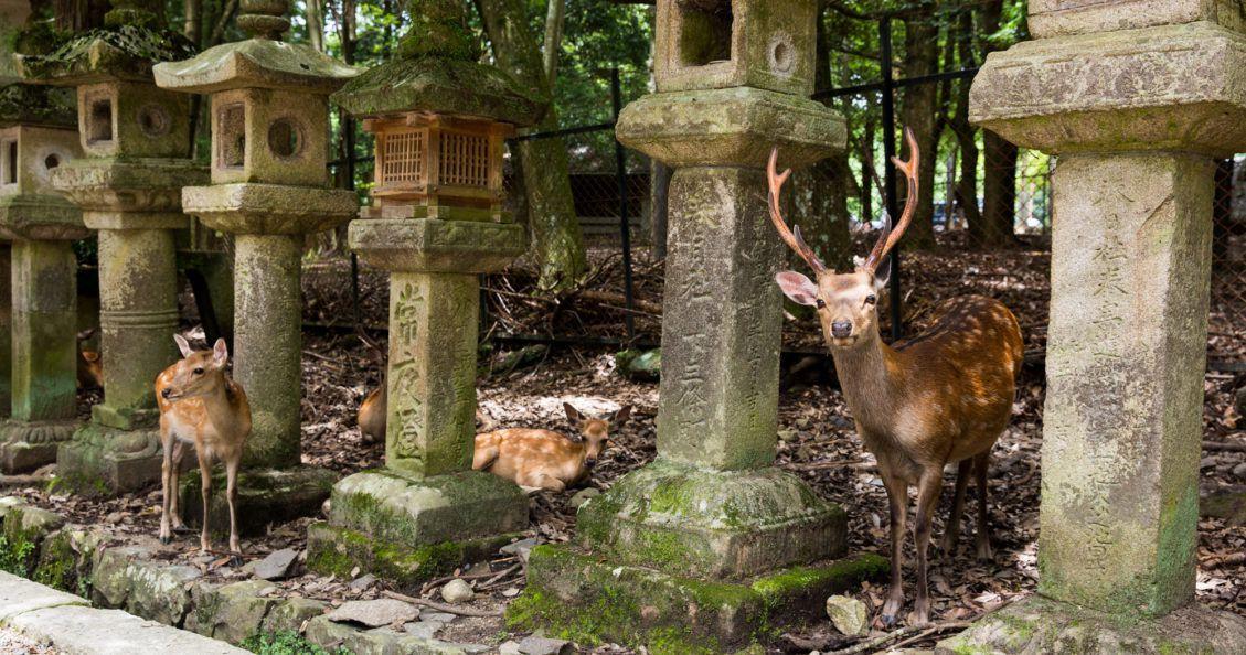 Feeding Deer in Nara Japan