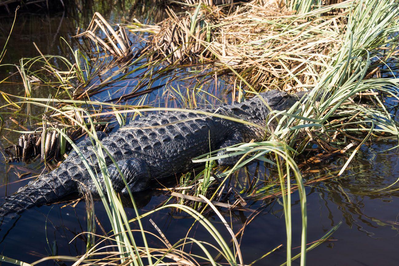 Crocodile in Everglades