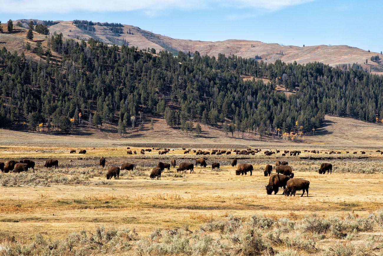 Lamar Valley in October